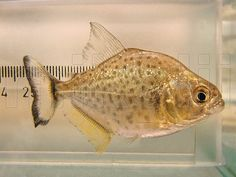 This is a detailed photograph of a wild, juvenile, Red Throat Piranha, Serrasalmus medinai, in a specimen aquarium, Carabobo, Venezuela.
