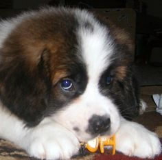 Saint Bernard Dog Picture Baby Jackson playing with his favorite toy! Little Puppies, Cute Puppies, Cute Dogs, Big Dogs, I Love Dogs, Beautiful Dogs, Animals Beautiful, St Bernard Puppy, Cute Baby Animals