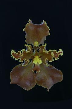 Cyrtochilum xanthodon