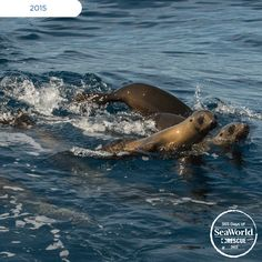 Celebrating the final photo of #365DaysofRescue, check out these adorable rescued sea lion pups playing in the water after their successful rehabilitation during the #2015SeaLionCrisis. #365DaysOfRescue