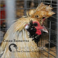 Tips for the Care of Crested Chicken Breeds Keeping Chickens, Raising Chickens, Chicken Breeds, Chicken Coops, Chicken Chick, Hen House, Backyard Chickens, Farm Life, Rooster