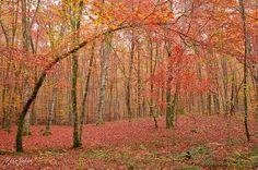Fageda d'en Jordà - Beech forest of Catalunya