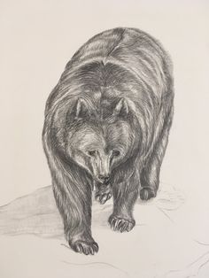 Step by step Grizzly bear illustration Sarah J. Loecker : Step by step Grizzly bear illustration- A step by step. Bear Illustration, Botanical Illustration, Animal Drawings, Drawing Animals, Newcastle University, Sketchbook Tour, Pictogram, Natural History, Lovers Art