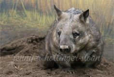 By jhs wombat Toronto Zoo, Wombat, Panther, Kangaroo, Animals, Animais, Animales, Animaux, Animal