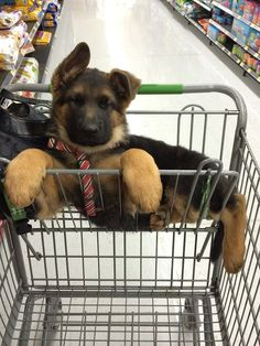 cute gsd puppy shopping paws