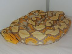 Looks like an orange glow Danger Noodle, Reticulated Python, Cool Snakes, Pet Snake, Reptiles, Noodles, Butterflies, Orange, Pets