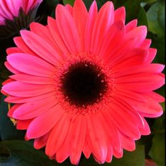 Gerber Daisy - would love to have a planter for the front porch with these!