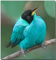 Green Honeycreeper, Singapore - by Douglas Janson. These birds are relatives of the tangers.