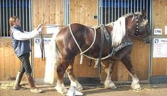 1000 images about draft horses on pinterest draft