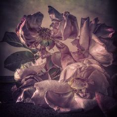Roses from my garden . Sunday 25th October 2015. by showstudio_nick_knight