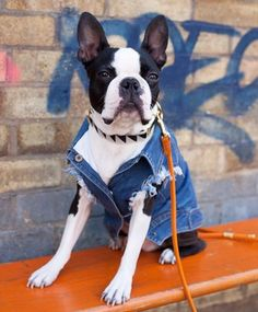 """""""🎤Oh lord it's hard to be humble, when your perfect in every way. …"""" Basil from @barkarama nailing cool casual good looks 👌🏻 . Raw Denim Jacket 👆🏻 l www.pethaus.com.au 👏🏻 . #bostonterrier #bostonterriercult #squishyfacecrew..."""