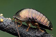 IMG_9327 (melvynyeo) Tags: macro night singapore pill cockroach blattodea