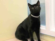 TO BE DESTROYED 10/19/14 ** Joseph was displaying fearful behavior. Does not seek attention from the assessor, seems afraid, tries to hide, allows petting but remains tense and cautious throughout the evaluation. ** Brooklyn Center  My name is JOSEPH. My Animal ID # is A1017168. I am a male black domestic sh. The shelter thinks I am about 4 YEARS old.  I came in the shelter as a STRAY on 10/11/2014 from NY 11206