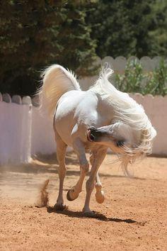 jordan horse white horse stallion arabian horse arabian stallion hlayyil ramadan royal stables