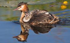 Gepind vanaf vroegevogels.vara.nl - Fuut