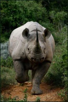 Save the rhino. The much sought after horn of a rhinoceros for which it is killed, is made from compacted hair.