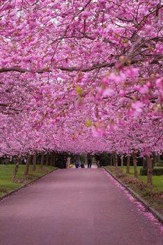 Copenhagen, Denmark - Copenhagen Sakura Festival - Where to See Cherry Blossoms in the World - Over 200 cherry trees were planted in Langelinie Park // http://localadventurer.com
