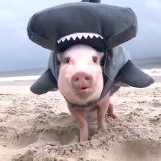 Shark sighting at the beach 🦈💦🐷 . Cute Animal Videos, Vegan Lifestyle, Veganism, Shark, Cute Animals, Vegetarian, Beach, Instagram, Pretty Animals