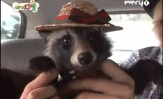 Discover & share this Funny Animals GIF with everyone you know. GIPHY is how you search, share, discover, and create GIFs. Animals And Pets, Baby Animals, Funny Animals, Cute Animals, Funny Raccoons, Strange Animals, Ferrets, Wild Animals, Animal Consciousness