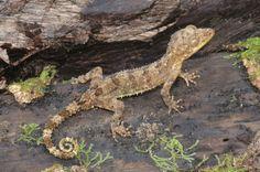 Cyrtodactylus durio
