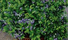 Growing Blueberries in Containers at www.GrowOrganic.com