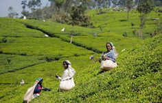 """Sip Your Way Through 'Little England's' Tea Plantations  Nestled in the heart of the hills, the formal colonial retreat of Nuwara Eliya, or """"Little England,"""" is home to the country's oldest tea estates."""