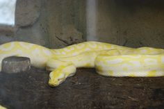 Albino Python. Richmond Zoo, August 2016.