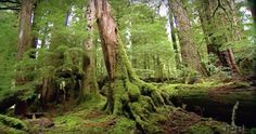 Valley of the Giants, Coast Range Oregon: As you stroll through this spectacular rainforest, you'll be enchanted by the ancient, mossy trees and the serene, peaceful atmosphere. Oregon Road Trip, Oregon Travel, Wonderful Places, Beautiful Places, Oregon Forest, Visit Oregon, Oregon Living, Oregon Washington, Adventure Is Out There