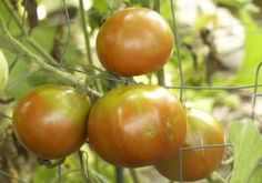 15 summer gardening tips: when to pick tomatoes & peppers, how to preserve herbs, and more! | Living the Country Life | http://www.livingthecountrylife.com/gardening/15-summer-gardening-tips/