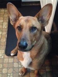 Miah is an adoptable Shepherd Dog in Swartz Creek, MI. MIAH- GRAND BLANC PetSmart- Grand Blanc-MIAHis2 yrs old and isgreat with other dogs & kids. She is very friendly and good natured. Loves ... Malinois Shepherd, Shepherd Mix Dog, Belgian Shepherd, Swartz Creek, Paws Rescue, Dogs And Kids, This Is Us, Adoption, Pets