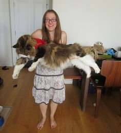 Lupo The Giant Maine Coon Cat - Love Meow