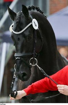 Dutch Warmblood stallion All at Once                                                                                                                                                                                 Mehr