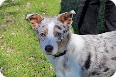Spring Valley, NY - Australian Shepherd Mix. Meet PUPPY SPECK, a dog for adoption. http://www.adoptapet.com/pet/17705706-spring-valley-new-york-australian-shepherd-mix