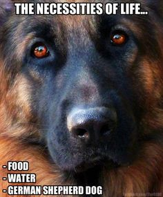 Oh happy days! #dogs #pets #GermanShepherds Facebook.com/sodoggonefunny