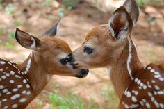 fawns :)