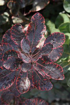 Cotinus 'Royal Purple'