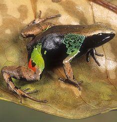 ☆ Beautiful Mantella Frog, Madagascar :¦: Gail Melville Shumway Photography ☆