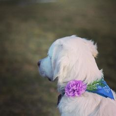 """How clever is this? Maple's mom attached her """"Take My Breath Away"""" collar attachment to Maple's bandana. This way Maple can rock double accessories! Such a fun idea!"""