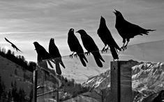 crows animals birds ravens black white bw glass mountains nature sky