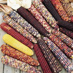 Photo of Ornamental Corn Wilda's Pride Untreated, Corn, Ornamental Corn