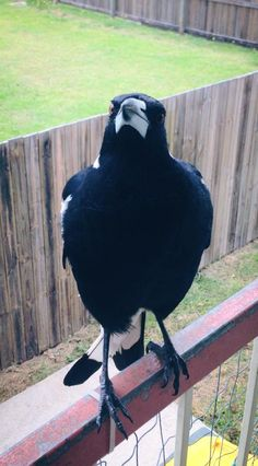 9. Make friends with a Magpie. They are seriously funny, intelligent and bossy.