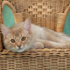 #wicker chair and the #cutest #cat  fawn somali cat resting on a wicker chair!  http://blog.wickerparadise.com