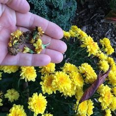 dead-heading-mums-early-this-year-gardenchat