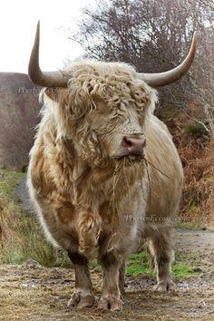 Highland Bull, Isle of Skye. Scotland. Scottish cattle breed. They have long…