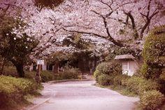 Beautiful tree tunnels around the world.  Sumida Park in Tokyo, Japan.