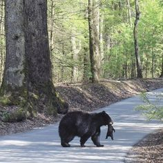 Momma Bear Carrying Her Cub~~Cades Cove, Great Smoky Mountains National Park, TN
