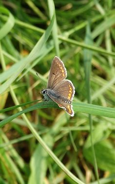 Brown Argus (Aricia agestis) Bruin Blauwtje(Photo by Jerdek©)