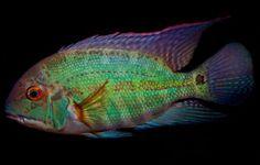 HECKEL, Common Name: Parrot Cichlid Cichlid Aquarium, Aquarium Fish, Aquascaping, African Cichlids, Angel Fish, Camping Gifts, Freshwater Aquarium, Tropical Fish, How To Look Pretty