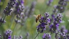 Find images of Bee Lavender. ✓ Free for commercial use ✓ No attribution required ✓ High quality images. Eco Friendly Environment, Eco Store, Bee Images, Eco Friendly House, Contemporary Photography, Green Life, Free Pictures, Nature Photography, Insects