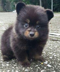 Schipperke Pomeranian mix puppy